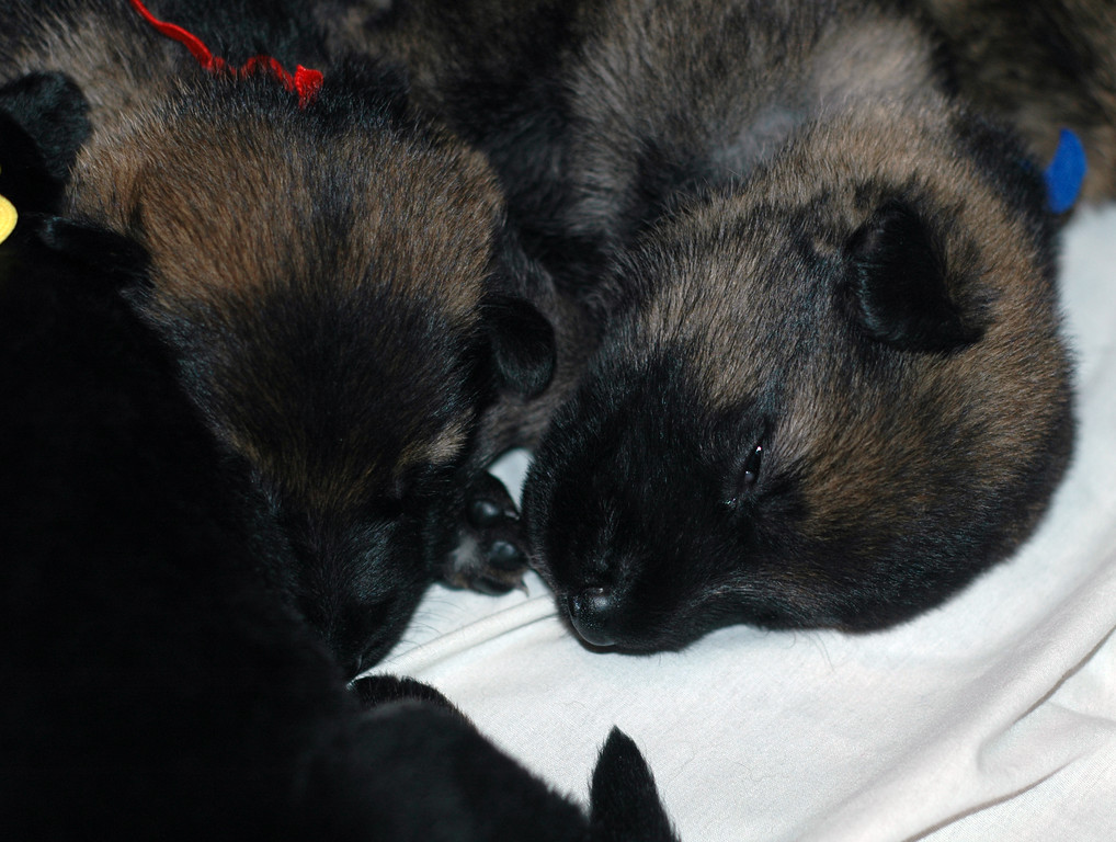 Pups 2.5wks<br /> <br /> Males: Red, Dk Blue, Lt. Blue, Orange and Green collars<br /> <br /> Females: White and Yellow collars
