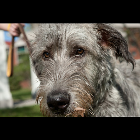 Young Wolfhound