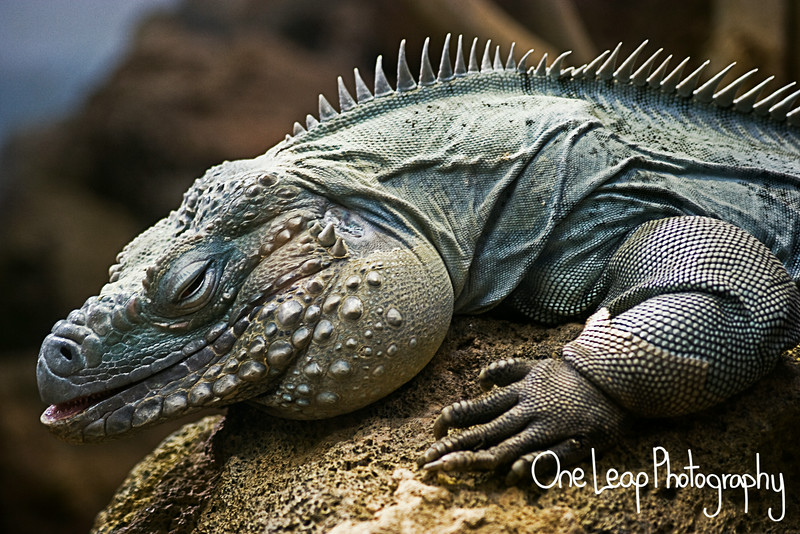 Blue Caymen Iguana