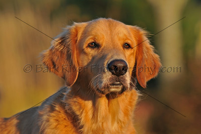 "Have a golden retriever? We will shoot during the ""golden light"" to capture the glow that is man's best friend."
