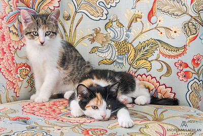 Calico Kittens (10 weeks old)