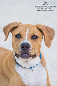 American Pitbull Puppy at 9 Months