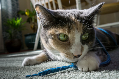 Cat Playing With Shoe String