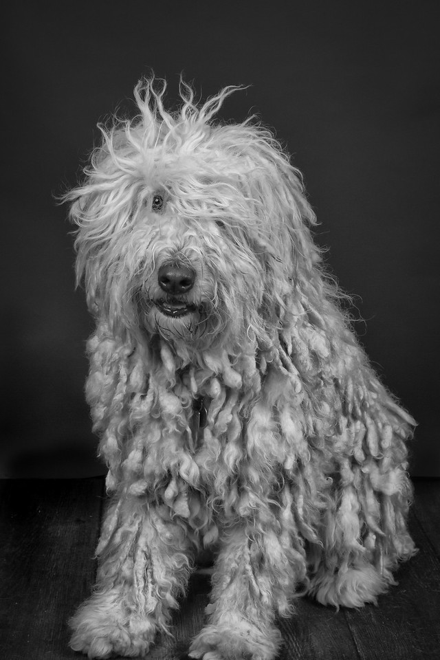 Daphne the Komondor