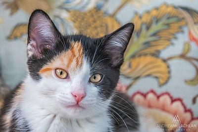 Calico Kittens (10 weeks old)