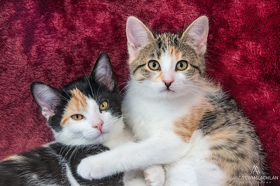 Calico kttens at 10 weeks old
