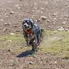 Dog Sprinting