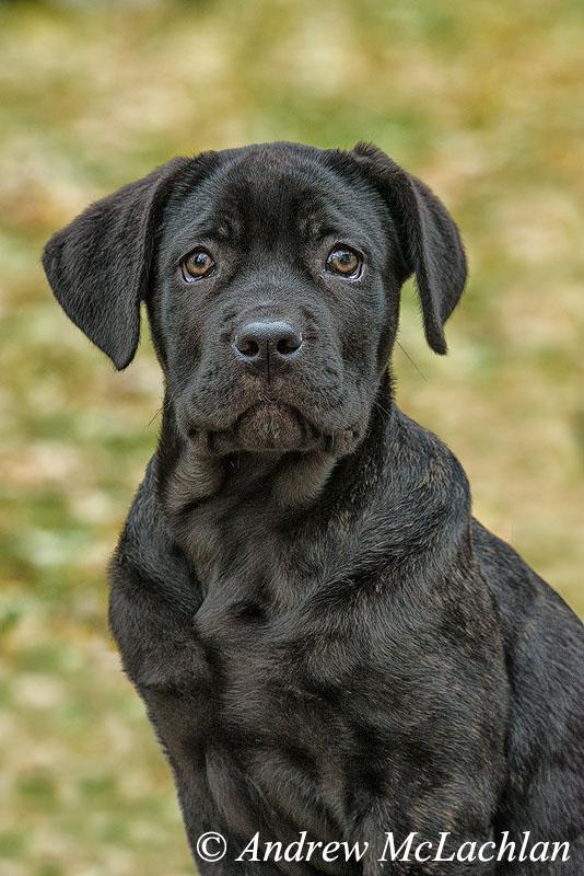Corso Mastif Puppy