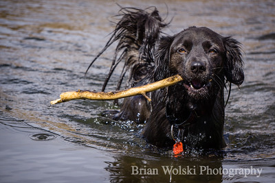 Black Dog Playing In Water