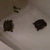 Turtles in the tub 1 21 17
