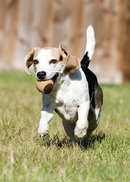 Badger the beagle, enjoying his backyard.