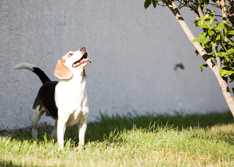 Badger the beagle, enjoying his backyard.            Order Enlargements  16x20 $100.00   16x20 w/frame $200.00   20x30 $200.00   20x30 w/frame $350.00   24x36 $300.00   24x36 w/frame $500.00