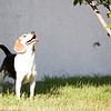 Badger the beagle, enjoying his backyard.