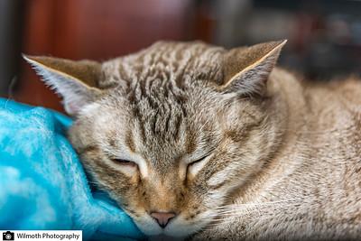 Sleepy Tiger...
