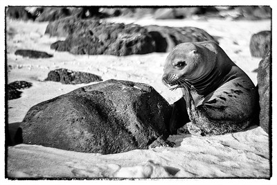 Galapagos sea lion-3979 4x6a