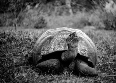 Giant Tortoise, Galapagos, Ecuador, 2016