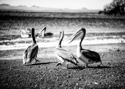 Pelicans, Galapagos, Ecuador, 2016