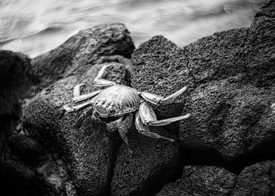 Sally Lightfoot Crab, Galapagos, Ecuador, 2016