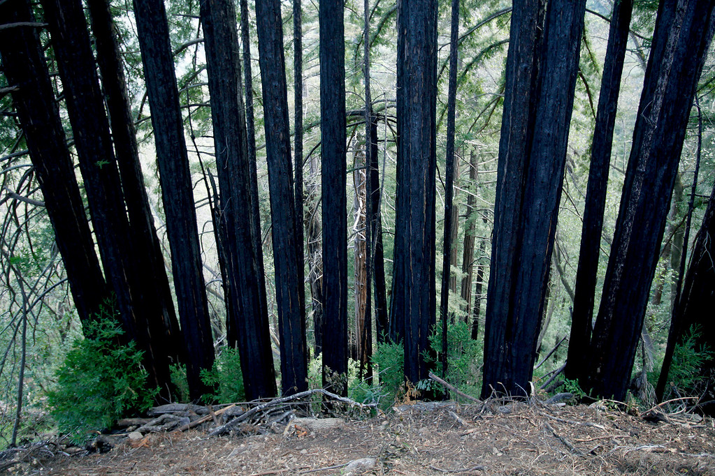 . Burned trees from the Soberanes Fire along the new Pfeiffer Canyon foot trail that is open to residents traveling around the former Pfeiffer Canyon bridge and Pfeiffer Big Sur State Park on Thursday, March 30, 2017.  (Vern Fisher - Monterey Herald)