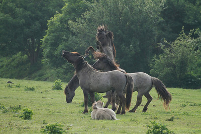 Konikpferde im Naturentwicklungsgebiet Oostvaardersplassen (NL)