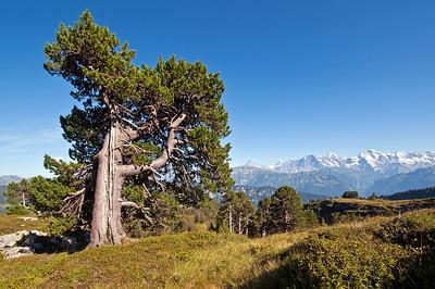 Bergföhre, Spirke (Pinus mugo uncinata)