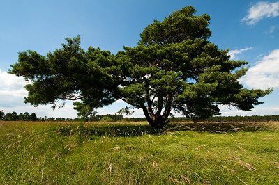 Schwarzkiefer (Pinus nigra)
