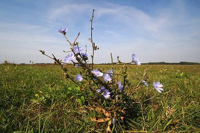 Gewöhnliche Wegwarte (Cichorium intybus)