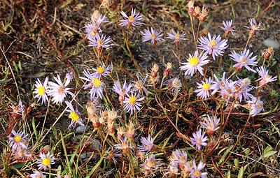 Pannonische Salzaster (Tripolium pannonicum)