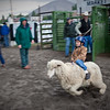 Young Boy Riding Sheep in 'Mutton Bustin' Rodeo Competition