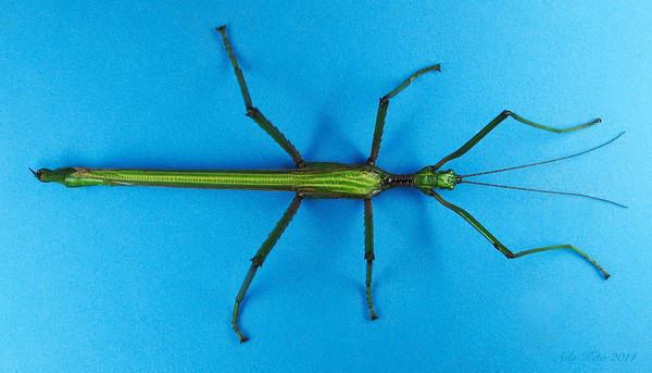 Parapodacanthus ailaketoae sp.n. (Phasmatidae)