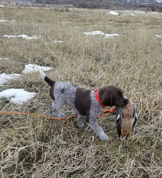 Roc of Mount Timpanogos Duck Fetch at Seven Weeks