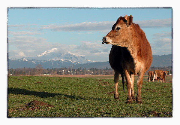 Cow in the County 1