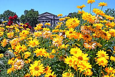 Yellow Franklin Flowers
