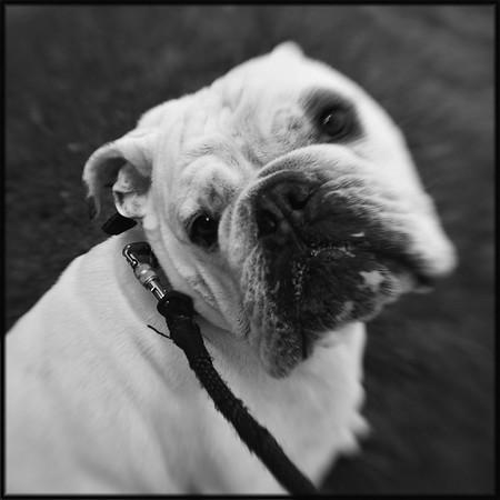 Dog Portrait (Louie 1)