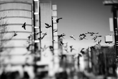 Pigeons---Philadelphia, PA