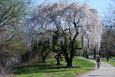 Spring Cherry Blossoms Along MLK Drive