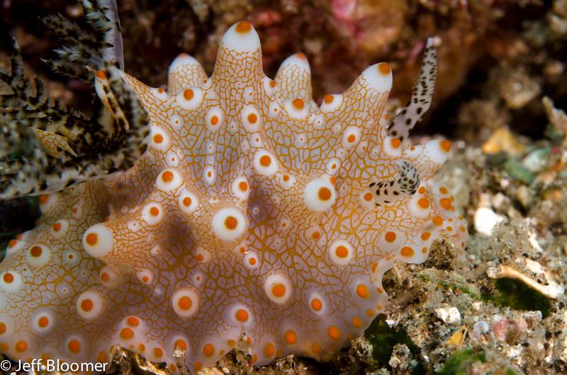 Nudibranch-Halgerda batangas