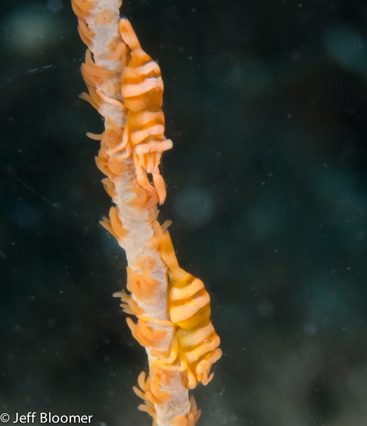 Wipe Coral Shrimp