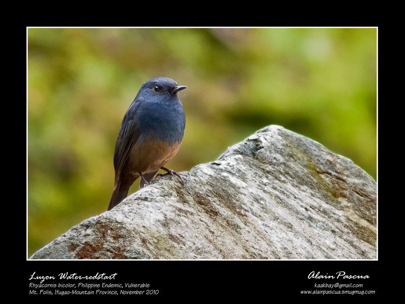Luzon_Water_redstart_MtPolis_Nov2010
