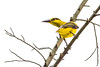 AlainPascua_16x24_Black_Naped_Oriole_MG_7706
