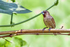 AlainPascua_Scaly-breasted_Munia_IMG_1388