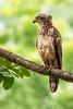 AlainPascua_16x24_Philippine_Serpent-Eagle_IMG_0894a