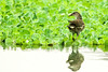 AlainPascua_CommonMoorhen_MG_2520a