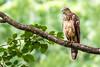 AlainPascua_Philippine_Serpent-Eagle_IMG_0928