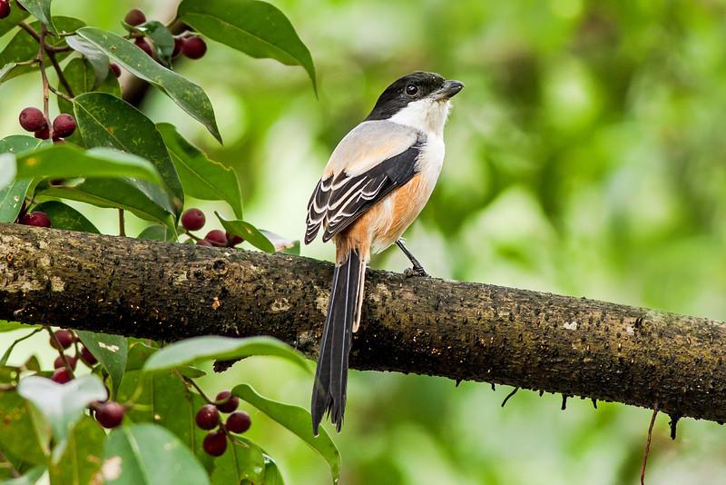 AlainPascua_16x24_Long-tailed_Shrike_IMG_8672