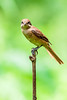 AlainPascua_Brown_Shrike_IMG_1958