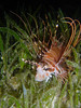 Lionfish in seagrass at the Lighthouse dive site, Cabilao, Philippines