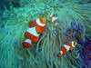 A trio of clownfish (Amphiprion percula) at the Looc dive site, Cabilao, Philippines