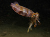 Reef squid with prey