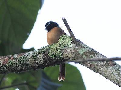 Black-and cinnamon Fantail